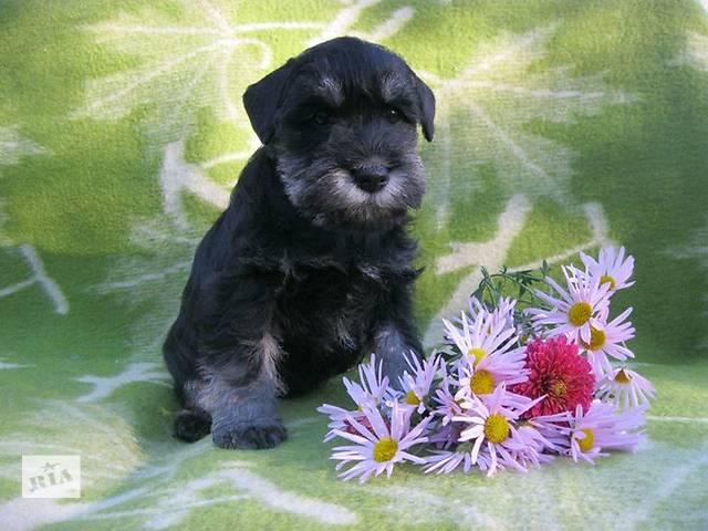 Цвергшнауцер, щенки окраса черный с серебром- объявление о продаже  в Харькове