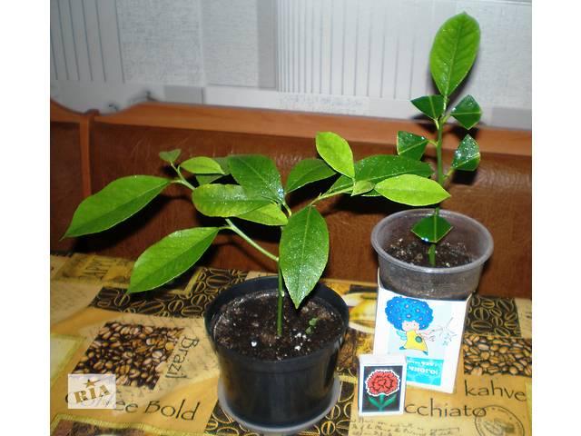 бу цитрусовые растения в Днепре (Днепропетровск)