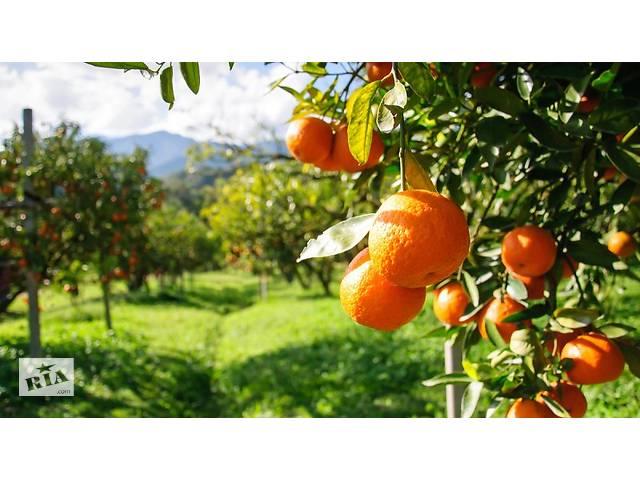 Робота в Португалії збір апельсинів