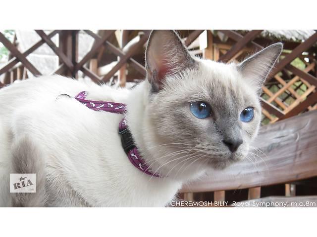 Волшебный Тайский котенок. Элита породы.- объявление о продаже  в Днепре (Днепропетровск)