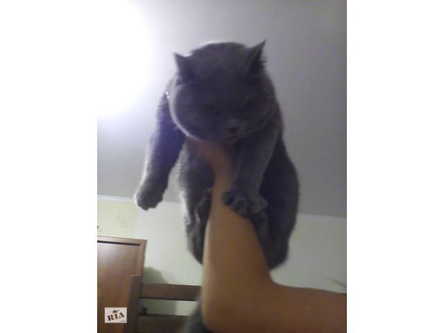 купить бу Вязка котика прмовушки- шотланського в Ровно