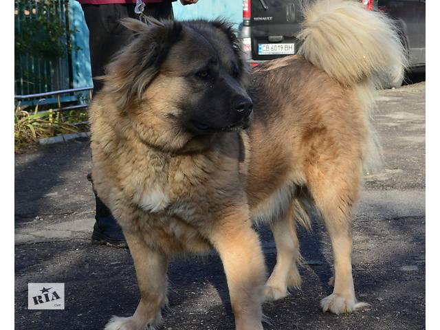 купить бу Взрослая сука кавказской овчарки в Киеве