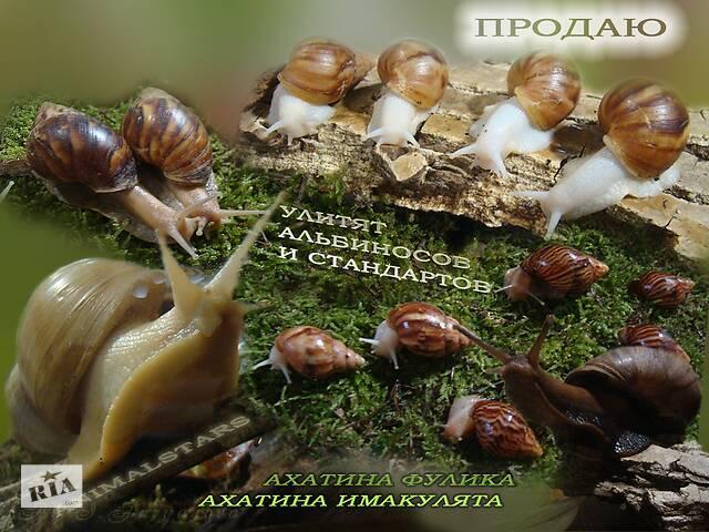 бу Ахатина Фулика и Иммакулята в Николаеве