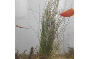 Акваріумні рибки (мечоносці)