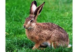 Австралийский кролик