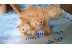 Бесплатно привезу котенка в дар в любой район г. Херсона