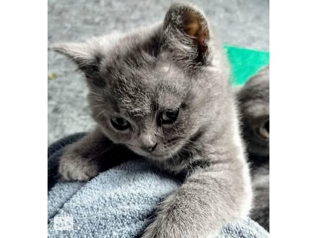 продам Британські кошенята бу в Каменском (Днепродзержинск)