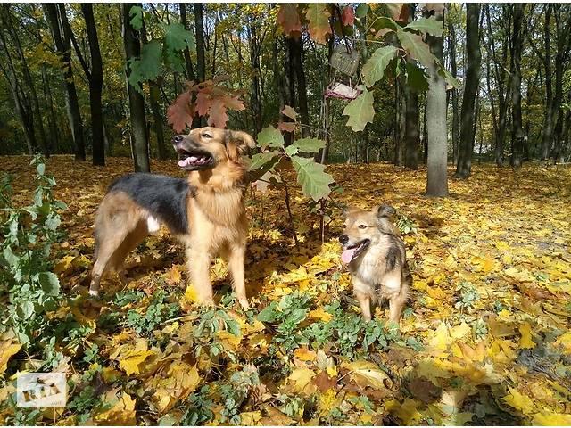 купить бу Два счастья в дом - собаки Брайан и Дарлинг в любящую семью бесплатно в Киеве