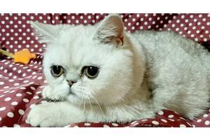 Экзотические короткошерстные котята.Экзот.