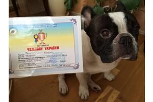 Французский бульдог кобель вязка Национальный чемпион Украины