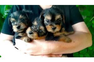 Готовятся к продаже щенки йоркширского терьера
