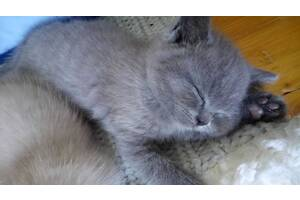 Кошенята шотландської породи прямовухі та висловухі