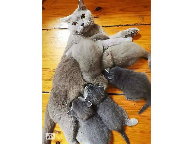 бу Кошенята скоттіш фолд в Броварах