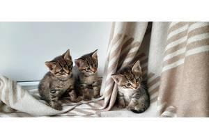 Котята - тигрята! Шотландские прямоухие. Домашние.