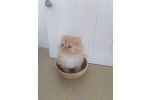 Котик экзот персидской породы