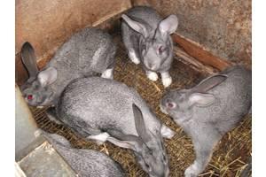 """Кролики породы """"Советская шиншилла"""""""