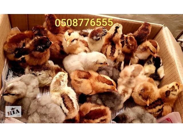 купить бу Цыплята домашние суточные смесь в Ивано-Франковске