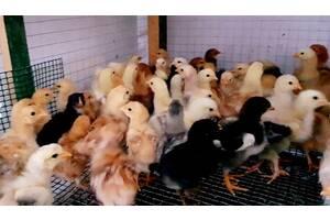 Курчата підрощені молодняк 3-4 тижні брами 2-ге покоління, голошийки