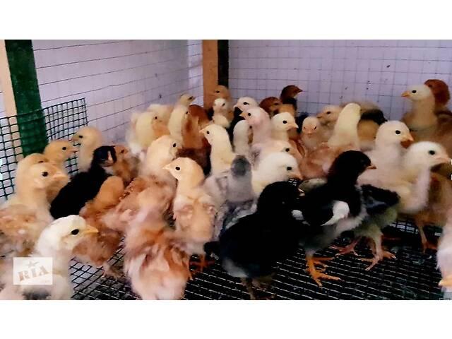 Курчата підрощені молодняк 3-4 тижні брами 2-ге покоління, голошийки- объявление о продаже  в Ивано-Франковске