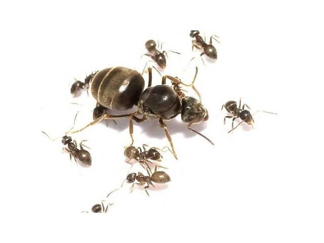 """бу Муравьи вида """"Lasius niger"""" - """"Садовый муравей"""" в Одессе"""