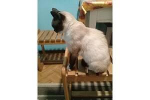 Отдам бесплатно сиамскую кошку