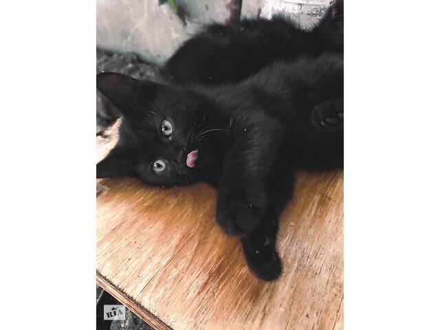 купить бу Отдам метисов (БОМБЕЙСКОЙ) кошки! в Виннице