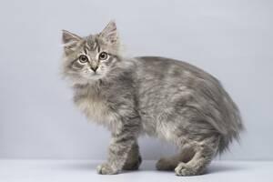 Отдам в хорошие руки котенка мальчика Куртиса .