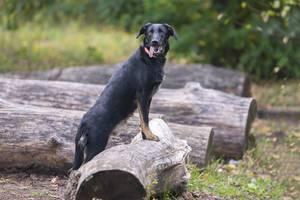 Отдам в хорошие руки красивого молодого пса Церина.