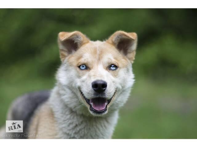 купить бу Отдам в хорошие руки собаку девочку подростка Сирену. в Киеве