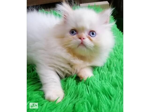 купить бу персидские котята в Одессе