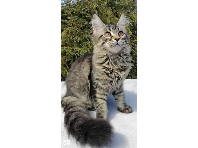продам Породистые котята мейн кун от титулованых родителей  бу в Днепре (Днепропетровск)