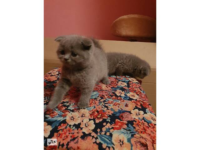 продам Прекрасные котята розумашки! бу в Виннице