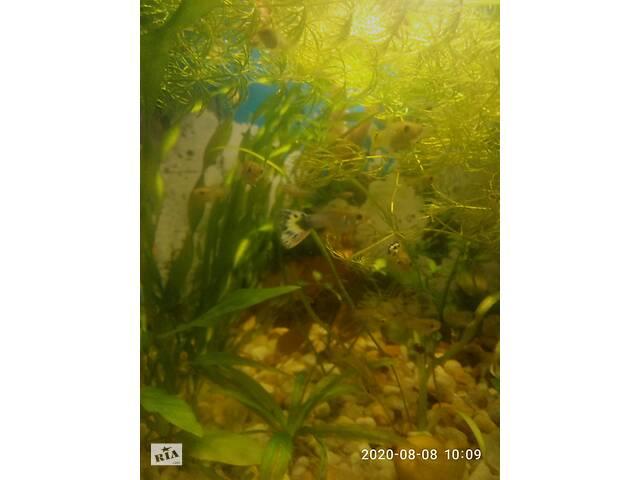 Продам акваріумних рибок Гуппі