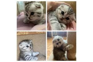 Продам британских котят( прямоухие и вислоухие)
