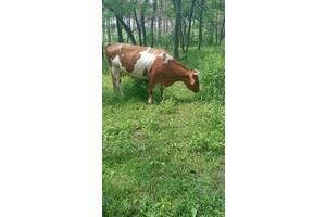 Продам коров (2) Луганская обл. с. Кудряшовка