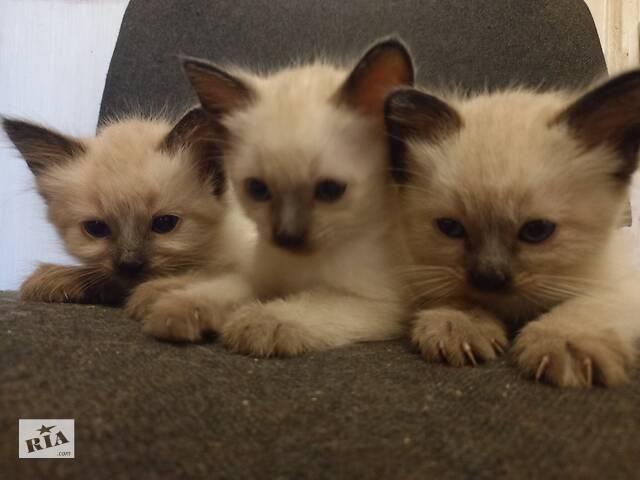 Продам котят (Тайской) породы