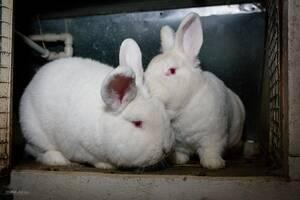 Продам кроликов породы  НЗБ, БСС, Строкачь