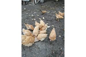 Продам курчата Орпінгтон палевий чистокровні