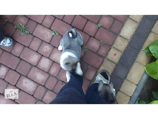 Продам щенят з с лайки- объявление о продаже  в Ужгороде