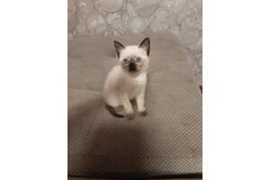 Продам тайского котёнка 1.5 месяца. Голубоглазая, игривая!!!!!!