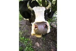 Продадим корову в добрые руки