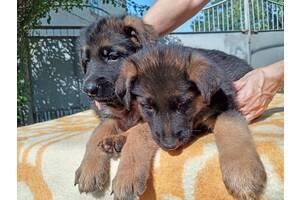 Продаются щенки немецкой овчарки с отличной родословной,кобели.