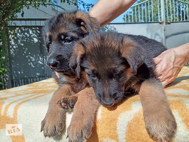 бу Продаются щенки немецкой овчарки с отличной родословной,кобели.  в Виннице