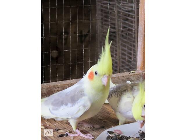 купить бу Птенчики корелл! Скрасят осенние дни! в Мариуполе