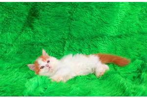Пушистый рыжий котенок