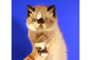 Роскошный,шикарный,очень эффектный,экзотический короткошерстный котеечка!