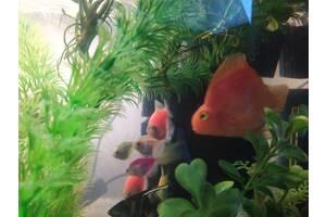 Рыба-попугай (трехгибридный попугай)