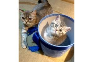 Шотладские прямоухие котята (Scottish strait)