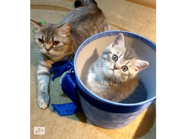продам Шотладские прямоухие котята (Scottish strait) бу в Киеве