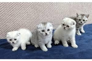 Шотландські чистокровні кошенята. Шотландские котята